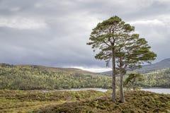 Dos pinos viejos en el lago cercano affric Imagen de archivo libre de regalías