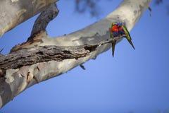 Dos pájaros del loro de Rosella del australiano en árbol Foto de archivo libre de regalías
