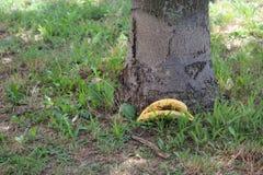 Dos plátanos dejados por el árbol en hierba fotos de archivo