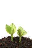 Dos plantas de semillero Foto de archivo