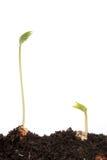 Dos plantas de semillero de la haba de corredor Fotos de archivo