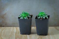 Dos plantas suculentas verdes en envases en conserva Imagen de archivo