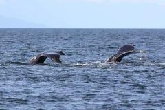 Dos platijas de la ballena jorobada Imágenes de archivo libres de regalías