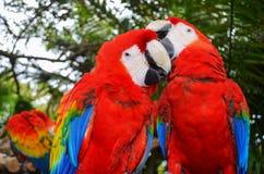 Dos plumas brillantes del macaw limpian el pico Fotos de archivo libres de regalías