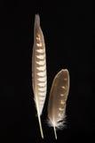 Dos plumas de halcón de Saker, cherrug de Falco Imagen de archivo
