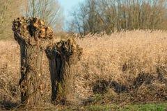 Dos podaron sauces del árbol descopado en un día soleado en invierno Foto de archivo