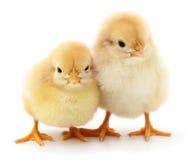 Dos pollos amarillos imagenes de archivo