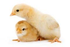 Dos pollos amarillos del bebé aislados en blanco Imagen de archivo