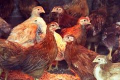 Dos pollos de tres meses de pollos rojos dentro de un gallinero de pollo Raza de las ponedoras que dan muchos huevos Imagen de archivo libre de regalías