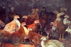 Dos pollos de tres meses de pollos rojos dentro de un gallinero de pollo Raza de las ponedoras que dan muchos huevos Foto de archivo libre de regalías