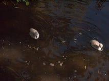 dos pollos del cisne grises del cisne mudo abajo debajo del corte de la natación de la superficie del agua Foto de archivo libre de regalías
