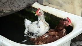 Dos pollos en agua almacen de metraje de vídeo