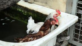 Dos pollos en agua almacen de video