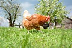 Dos pollos en la yarda. fotos de archivo