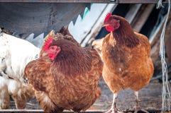 Dos pollos marrones en el pueblo en el día soleado Foto de archivo