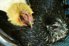 Dos pollos que se sientan en los mismos huevos para incubar de la cesta Fotografía de archivo libre de regalías
