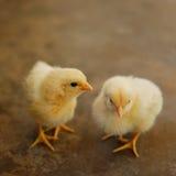 Dos polluelos imágenes de archivo libres de regalías