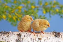 Dos polluelos Fotos de archivo