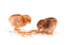 Dos polluelos coloridos del bebé que picotean en la comida Fotos de archivo