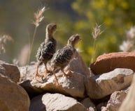 Dos polluelos de las codornices foto de archivo libre de regalías