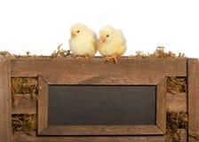 Dos polluelos del bebé fotografía de archivo libre de regalías