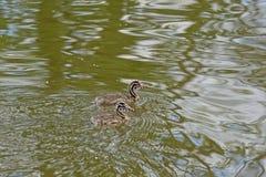 Dos polluelos del colimbo que nadan en el agua de ondulación fotos de archivo