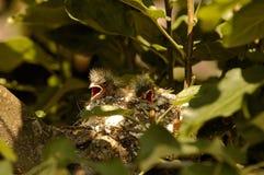 Dos polluelos del pinzón vulgar en la jerarquía Fotos de archivo