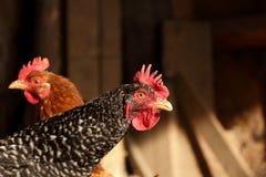 Dos polluelos en la granja Foto de archivo