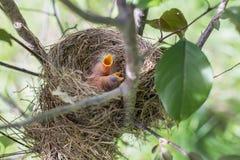 Dos polluelos hambrientos del petirrojo piden la comida en su jerarquía Fotos de archivo