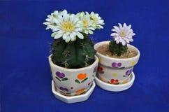 Dos potes hermosos de flores del cactus del gymnocalicium Imágenes de archivo libres de regalías