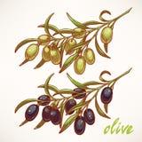 Dos ramas de olivo Foto de archivo