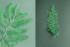 Dos ramas de thuja una rama grande del thuja en un fondo gris claro, una peque?a rama en un fondo gris oscuro equilibrio fotografía de archivo libre de regalías