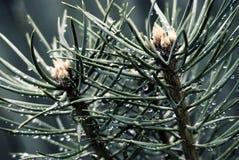 Dos ramificaciones de pino con gotas Fotografía de archivo libre de regalías