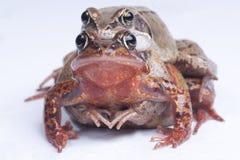 Dos ranas Imágenes de archivo libres de regalías