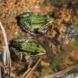 Dos ranas comunes del agua en el agua Foto de archivo libre de regalías