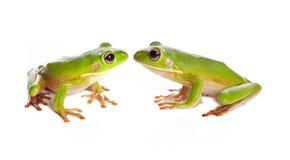 Dos ranas de árbol Imágenes de archivo libres de regalías