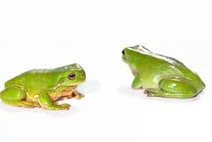 Dos ranas de árbol verdes Imagen de archivo