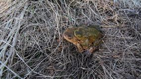 Dos ranas de acoplamiento caminan en hierba metrajes