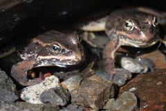 Dos ranas de cascadas Imagen de archivo libre de regalías