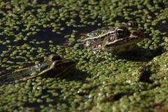 Dos ranas de leopardo Fotos de archivo libres de regalías