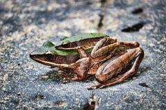 Dos ranas en la selva - cascada Hua Hin Thailand de Pala U fotografía de archivo
