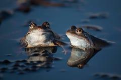 Dos ranas en primavera en una charca en Transilvania fotografía de archivo