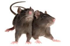 Dos ratas Foto de archivo libre de regalías