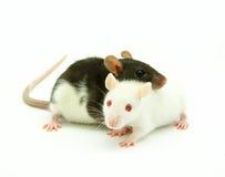 Dos ratas Fotos de archivo