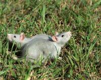 Dos ratas en la hierba Foto de archivo libre de regalías