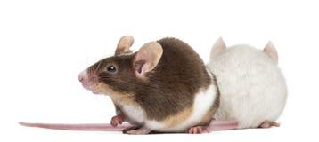 Dos ratones Imagen de archivo libre de regalías