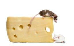 Dos ratones alrededor de un pedazo grande de queso Fotografía de archivo