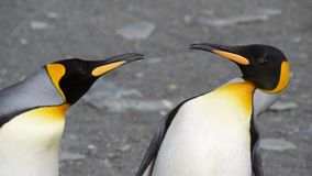 Dos rey Penguins Quarreling Fotografía de archivo libre de regalías