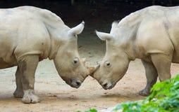 Dos rhinos Imagen de archivo libre de regalías