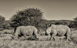 Dos rhinos blancos Imágenes de archivo libres de regalías